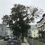 Tree Pruning at 98 Millet St, Dorchester