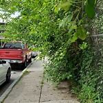 Tree Pruning at 21 Bourneside St