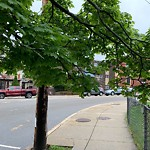Tree Pruning at Intersection Of Beech St & Belgrade Ave, West Roxbury
