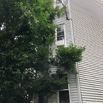 Tree Pruning at 11 Hendry St, Dorchester