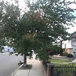 Tree Pruning at 109 Ashley St, East Boston