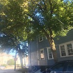 Tree Pruning at 11 Wellsmere Rd, Roslindale