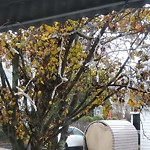 Tree Pruning at Intersection Of Teragram St & Saratoga St, East Boston