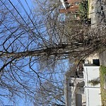 Tree Pruning at 76 Lyall St West Roxbury