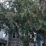 Tree Pruning at 34 Vinson St, Dorchester