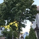 Tree Pruning at 40 Humphreys St, Dorchester