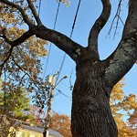 Tree Pruning at 17 Glenellen Rd West Roxbury