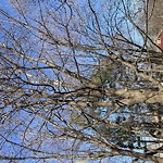 Tree Pruning at 505 Weld St West Roxbury